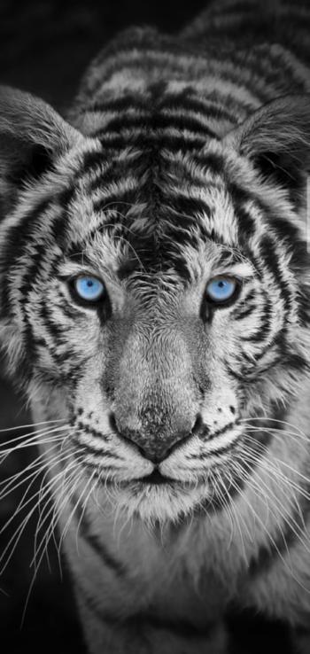 #blackandwhite #blackandwhitephotography  #tigers #white #black
